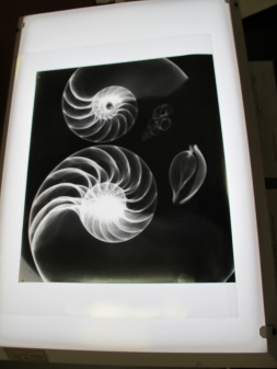 Radiographs of shells, D'arcy Wentworth Thompson papers, St. Andrews University Library