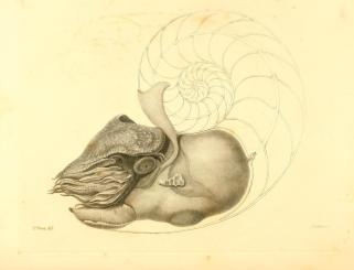 Richard Owen, Memoir on the Pearly Nautilus (London: Richard Taylor, 1832), plate I.